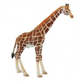 Girafa mascul