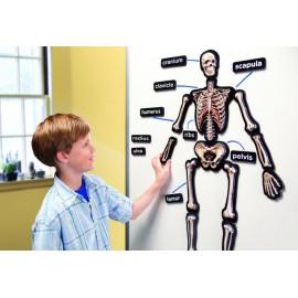 Scheletul uman magnetic 3D