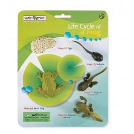 Ciclul vietii la Broasca