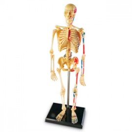 Sablon corp uman - schelet