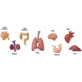 Tub 8 figurine - Organele corpului