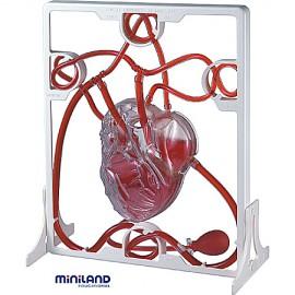 Miniland - Set Inima si Sistemul circulator